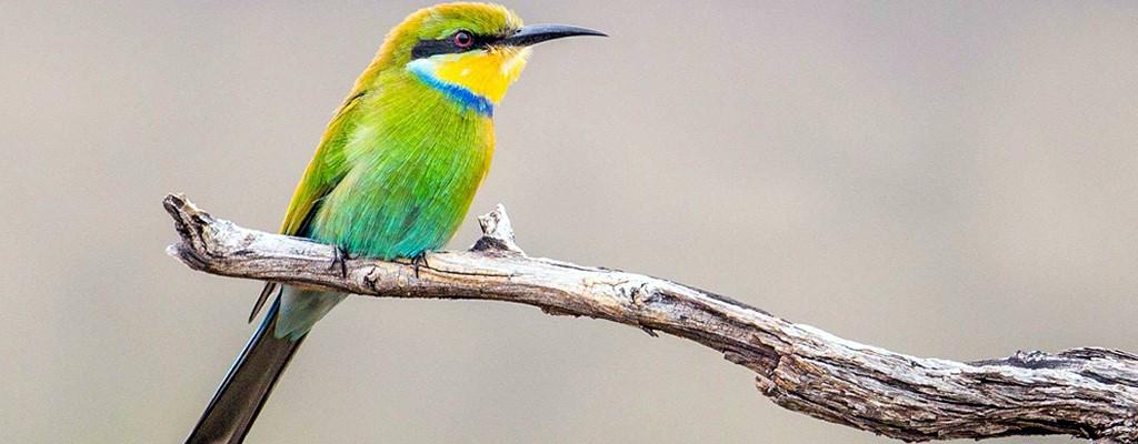 Os Pássaros do Serengeti